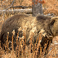 Teton Grizzly In The Brush by Adam Jewell