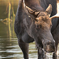 Teton Moose 1 by Adam Jewell