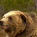 Teton Toothy Grizzly Smile by Adam Jewell