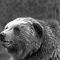 Teton Toothy Grizzly Smile Black And White by Adam Jewell