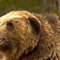Teton Toothy Grizzly Smile Closeup by Adam Jewell