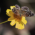 Texan Crescent Butterfly On Marigold-img_1348-2016 by Rosemary Woods-Desert Rose Images