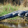 Texas Alligator by Rupert Chambers