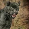 Texas Black Leopard by Charles McKelroy
