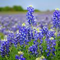 Texas Blue - Texas Bluebonnet Wildflowers Landscape Flowers  by Jon Holiday