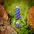 Texas Bluebonnet by Jon Holiday