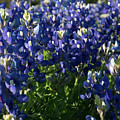 Texas Bluebonnets In The Sun by Frank Madia