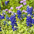 Texas Bluebonnets  by Thomas R Fletcher
