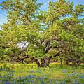 Texas Bluebonnets Under A Giant Oak Tree by Lynn Bauer