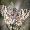 Texas Covered Skipper by Ingrid Smith-Johnsen