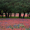 Texas Live Oaks Surrounded By A Field Of Indian Paintbrush And Bluebonnets by Austin Welcome Center