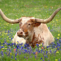 Texas Longhorn In Bluebonnets by Jon Holiday