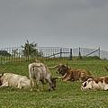 Texas Longhorns And Wildflowers by Jonathan Davison