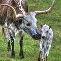 Longhorn Calf by Philip Rispin