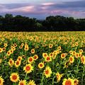 Texas Sunflowers by Robert Bellomy