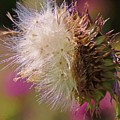 Texas Thistle 004 by Robert ONeil