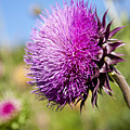 Texas Thistle by Mark Weaver