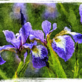 Textured Bearded Irises by Geraldine Scull