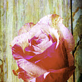 Textured Pink Red Rose by Garry Gay