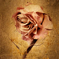Textured Rose by Jessica Jenney
