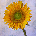 Textured Sunflower by Garry Gay