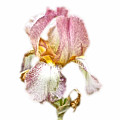 Thank You Greeting Items - Bearded Iris by Mother Nature