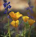 That Golden Poppy Glow  by Saija Lehtonen