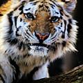 That Tiger Look by Karol Livote