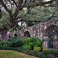 The Alamo Oak by David and Carol Kelly