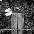 The Allotment Project - Dog Rose by Clayton Bastiani