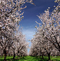 The Almond Bloom by Terrance Emerson