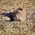 The Amazing Black-tailed Prairie Dog by Gary Richards