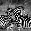 The Amazing Shot Of Zebra by JDMakwana