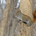 The American Red Squirrel by Asbed Iskedjian