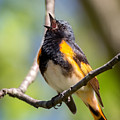 The American Redstart by Bill Wakeley