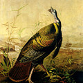 The American Wild Turkey Cock by John James Audubon