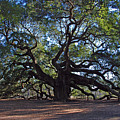 The Angel Oak In Spring by Susanne Van Hulst