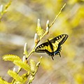 the Anise Swallowtail  feeding in the trees by Royal Tyler