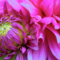 The Anticipation Of Dahlia 3 by Victor K
