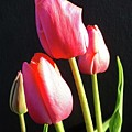 The Appearance Of Spring - Tulips by Cindy Treger