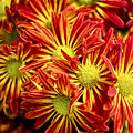 Chrysanthemum Bouquet by Kay Brewer