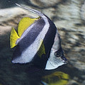 The Bannerfish by Ernie Echols