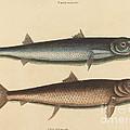 The Barracuda (esox Barracuda) by Mark Catesby