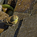 The Bath - American Goldfinch - Spinus Tristis by Spencer Bush