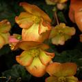 The Beautiful Begonia by Tom Buchanan
