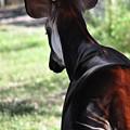 The Beautiful Okapi 02 by John Knapko