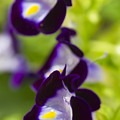 What's Wrong With Being A Pansy? by Roberto Aloi