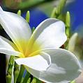 The Beautiful Plumeria  by Elaine Manley