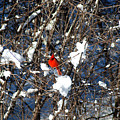 The Beauty Of A Cardinal by Jackie Reitsma