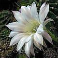 The Beauty Of Cactus by Hazel Vaughn